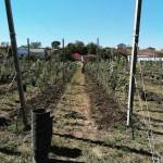 Закладка яблоневых садов в Ногайском районе.